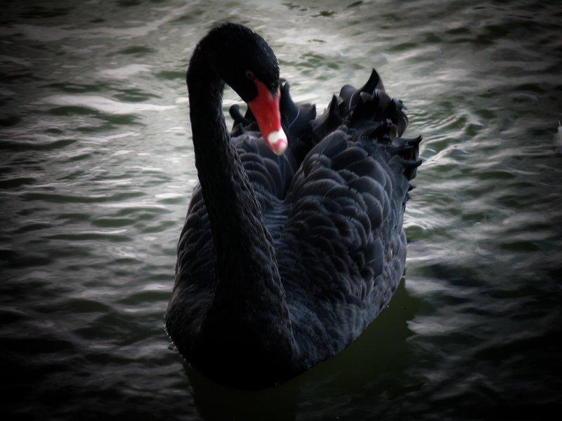 Черный-лебедь